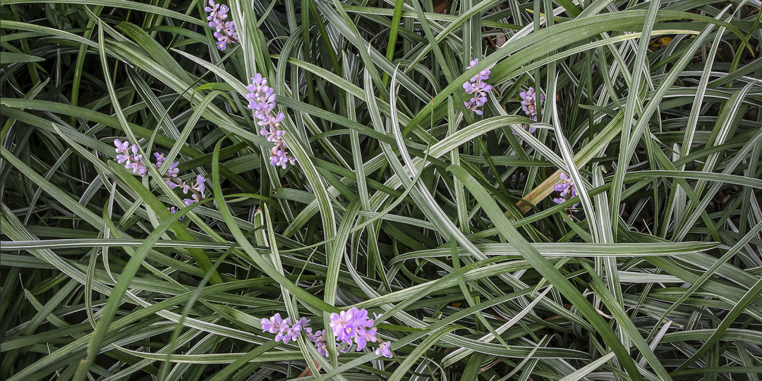 Green Grass With Purple Flowers, fine art photograph by Dan Cleary of Cleary Creative Photography in Dayton Ohio