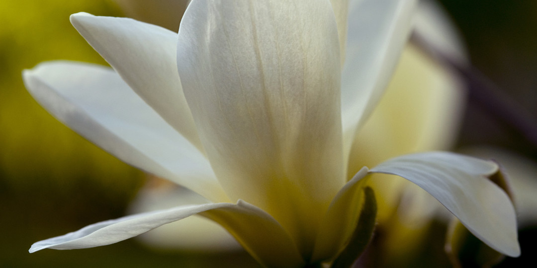 Magnolia Blossom, fine art photograph by Dan Cleary of Cleary Creative Photography in Dayton Ohio
