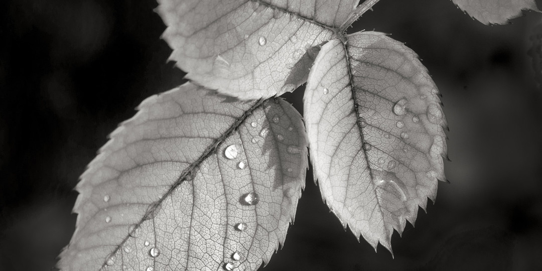 Rose Leaves, Black and White fine art photograph by Dan Cleary of Cleary Creative Photography in Dayton Ohio